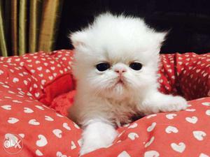 Very active persian kitten for sale in mumbai