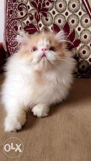Very so cute persian kitten for sale in raipur