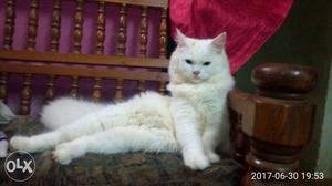 2 Persian male cats for sale...Price each for RS