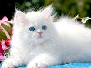 Long fur pure breed baby persian cats kitten sale all colors