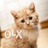Very active persian kitten for sale in ghaziabad