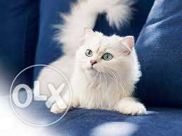 Very sweet so lovely persion kitten for sale in gurgaon