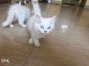 Wanted male persian cat for mating