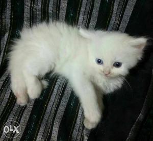 White Blue Eye Persian Kitten Available in Delhi