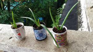 Good botanical variety Aloe Vera Plant Saplings for sale