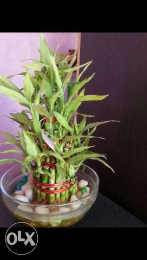 Lucky Bamboo for sale at low prices We sale bulk