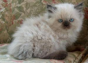 Golden Persian And Himalayans Kittens In Andheri Juhu Bandra