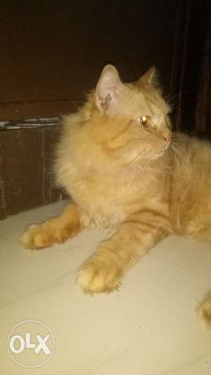 Male orginal persian breed 1.5yrs ready for mating