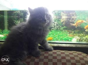 Persian kitten for sale with very good fur quality