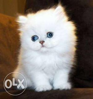 Punch face pure breed persian cats kitten sale...