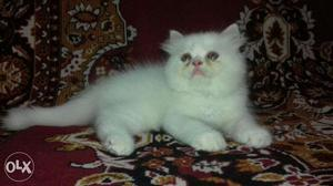 So nice Persian kitten for sale in noida