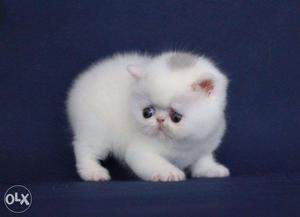Very So very beautiful persion kitten for sale in patna...