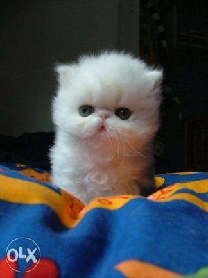 Very active persian kitten for sale in noida