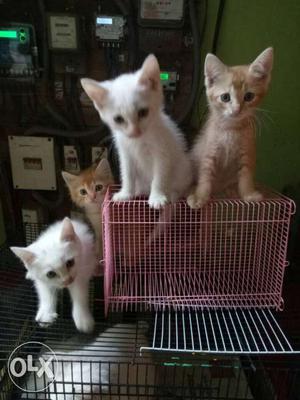 White And Orange Tabby Kittens