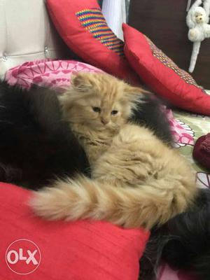 Persian kittens available here