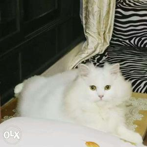 I am a dealer of persian cats Top quality in a
