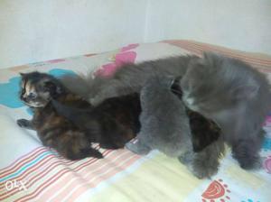 Persian cat very active