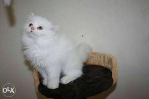 Persian cats.only pure breed persian cats sale low price