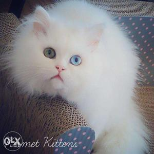 So cute persian kitten for sale in sikohabad