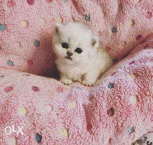 So cute persian kitten for sale in tundla