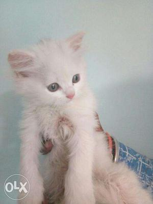 All color Persian available