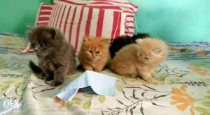 All colors Persian Kittens available in Mumbai