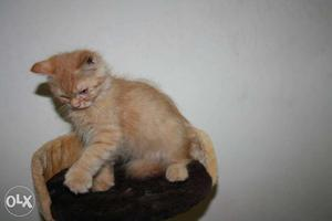 Golden male and female Persian kittens available