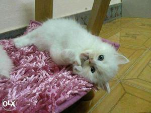 Playfully active long fur pure breed Persian cats