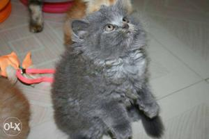 Pure breed Persian kittens in all colors available