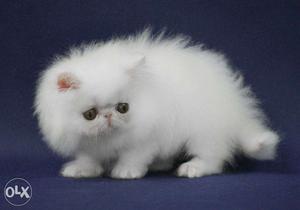So beautiful persian kitten for sale in amritsar