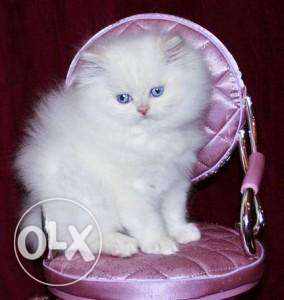 Unique pets offer best quality Persian kitten available sale