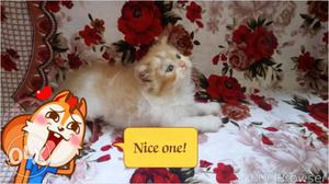 Very beautiful pure persion kitten for sale in