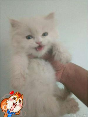 So cute persian kitten for sale in Allahabad