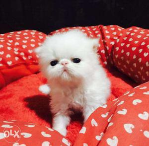 So cute persian kitten for sale in noida
