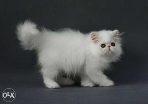 Very So very beautiful persion kitten for sale in jammu