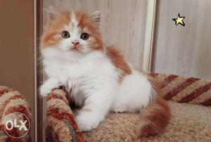 Very beautiful so cute persion kitten for sale in noida