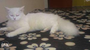 White PERSIAN KITTEN Available In Delhi