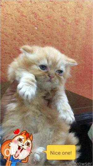 White color Persian kitten for sale in faridabad