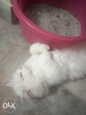 7 months male cat very energetic call