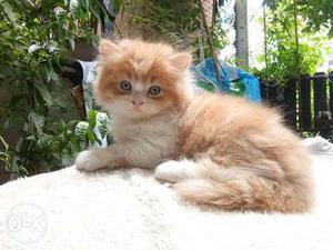 Cash on delivery persian kitten for sale in gurgaon