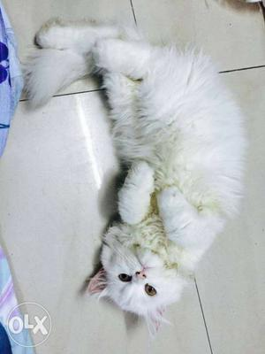 Cute playfull trained.baby persian cats kitten sale all