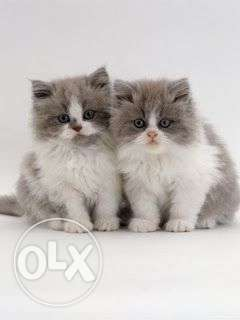 Pure PERSIAN KITTEN Available in Delhi best breed call me