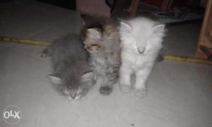 Pure persion cat new born baby 2 month year old