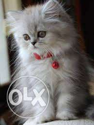 Very Sweet & So lovely Persian Cat and Kitten For Sale.all