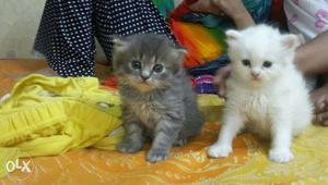 2 beautiful persian doll Cat