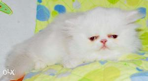 Beautiful So Nice Persian Kittens & Cats For Sale in noida