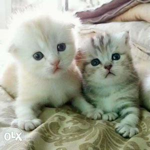 Cute playfull healthy persian cats kitten sale all india any