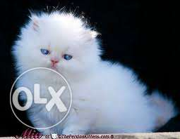 Show Quality Pure Breed Persian cats for sale..