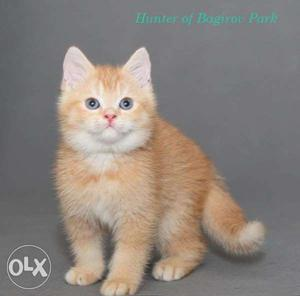 Very cheap rates very cute persian kitten for sale in nagpur
