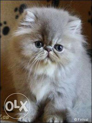 Very pretty persian kittens available in gurgaon